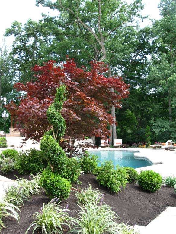 Anese Maples And Boxwoods In Front Of The Pool
